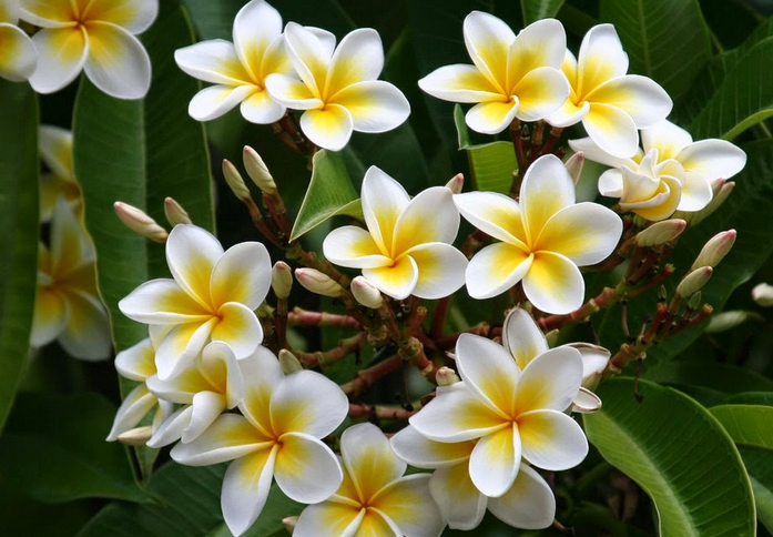 Image result for plumeria png